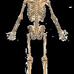 human-bone